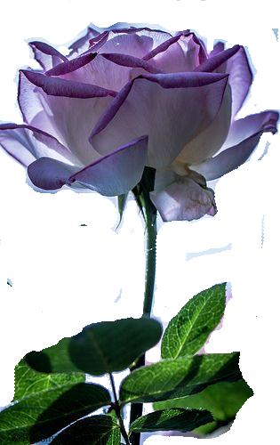 Rose Couleur Lavande